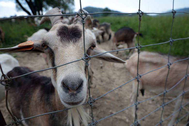 Bieszczadzką Kozę zamieszkują różne zwierzęta. Jednak to dzięki kozom powstaje tu pyszny ser.