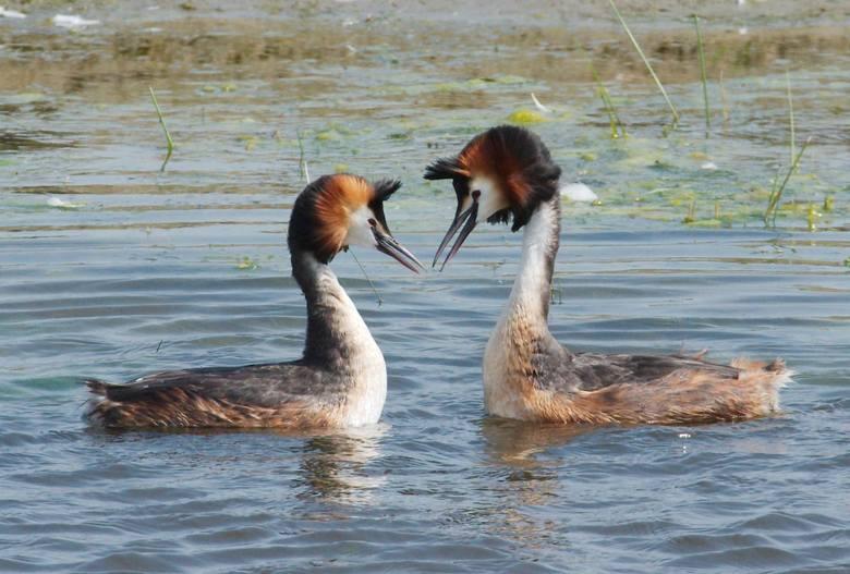 Mokradła, bagna, łąki i jeziora… Doskonałe miejsce, by przyczaić się z aparatem i podglądać przyrodę. Perkozy, szczudlarz, płaskonos, gęsi szare, kaczka