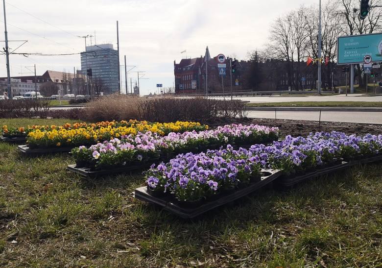 Cały Gdańsk w kwiatach. Bratki pojawiły się w wielu miejscach w mieście [zdjęcia]