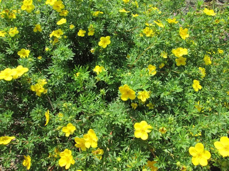 Pięciorniki to nieduże, ale wdzięczne i naprawdę ozdobne krzewy. Kwitną od wiosny do jesieni  na żółto, biało, pomarańczowo lub różowo. Radzą sobie z