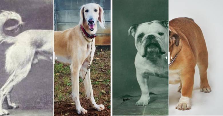 Najbardziej zniekształcone rasy psów. To straszne, jaki ludzie zgotowali im los!