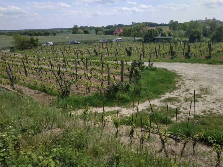 Winnica Miłosz w Łazie. Działa od 2005 roku. Prowadzi je Krzysztof Fiedorowicz.