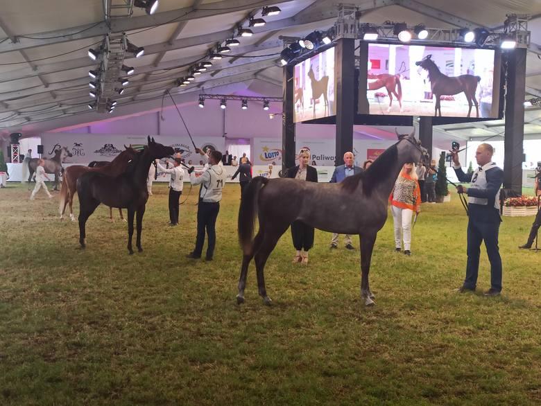 51. aukcja Pride of Poland w Janowie Podlaskim. Sprzedano 10 koni