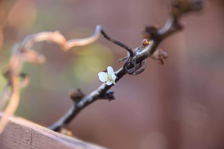 Wiosna w listopadzie. W Tarnowie ponownie zakwitły śliwy [ZDJĘCIA]
