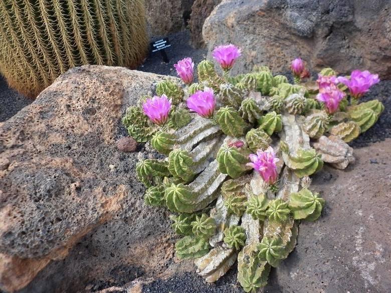 Na północnym krańcu Guatizy, miejscowości na Lanzarote można znaleźć ogród z kaktusami.