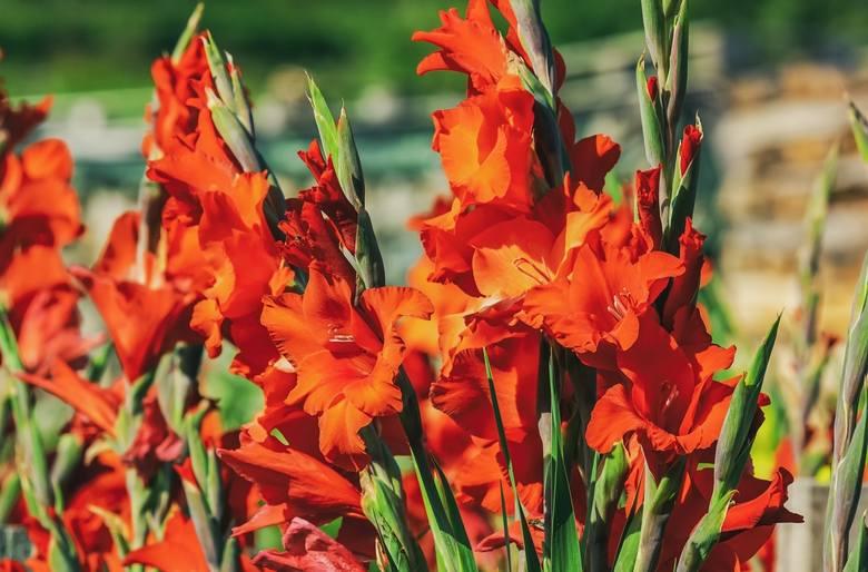 Gladiole nazywane też mieczykami to jedne z piękniejszych kwiatów lata. Ich strzeliste, sztywne, wysokie kwiatostany (1-1,5 m) górują nad rabatą i zachwycają