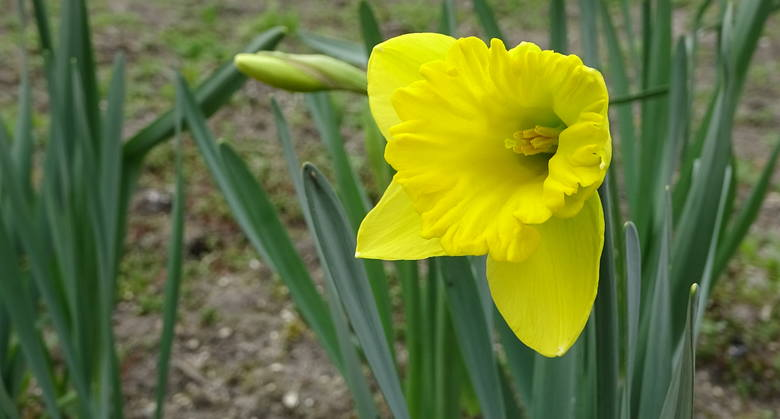 Ewa Zdrowowicz - Kulik: Co  teraz widzę - wiosenny ogród przed naszym domem w Skwierzynie z żonkilem - kwiatem nadziei - jako przesłanie, że życie po