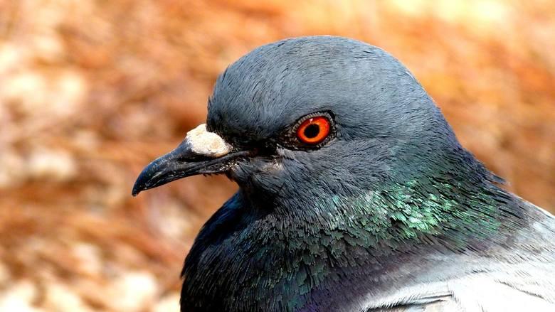 Wątpliwości o gołębie i ptasią grypę. Pytacie - fachowiec odpowiada