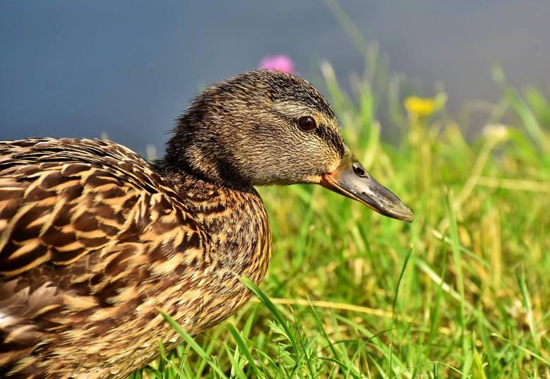 Myśliwi najczęściej polują na kaczki krzyżówki. Jednak ornitolodzy i miłośnicy przyrody od lat apelują, by skończyć w Polsce z polowaniami na ptaki.