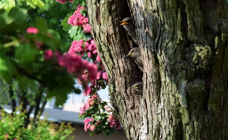 Przy ulicy Solankowej w Inowrocławiu pięknie kwitną głogi dwuszyjkowe (Paul's Scarlet). W dziupli jednego ze starszych głogów gniazdo założyła para szpaków.Intensywne