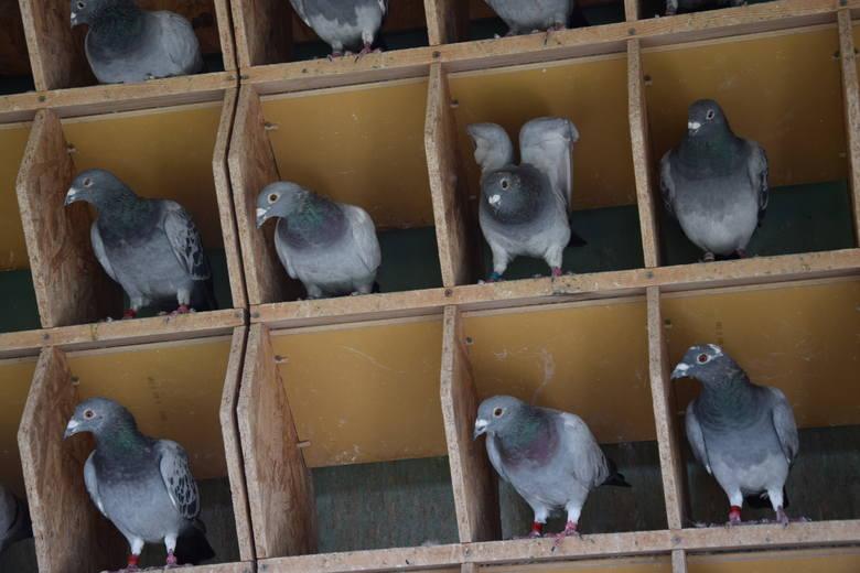 9 lat więzienia za kradzieże cennych gołębi. Mariusz H. usłyszał wyrok