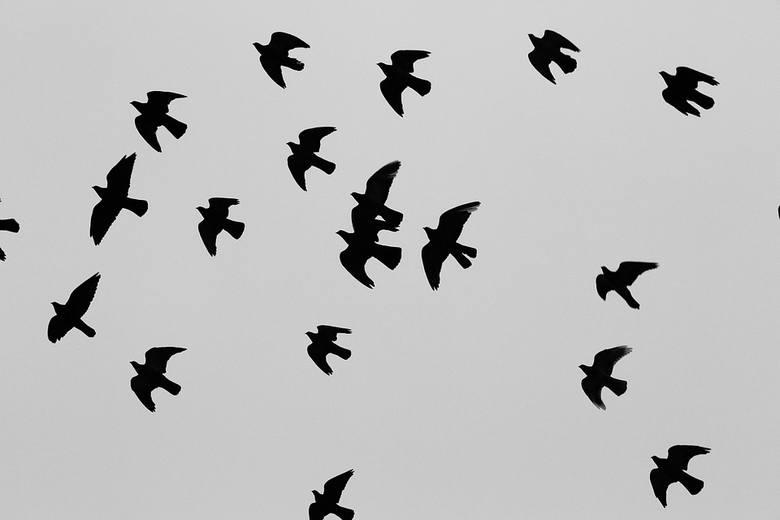 """Sztuczne drapieżnikiW naturalnych warunkach śmiertelnym zagrożeniem dla gołębi są sowy, orły, jastrzębie, czy węże. W naszych bardziej """"cywilizowanych"""""""