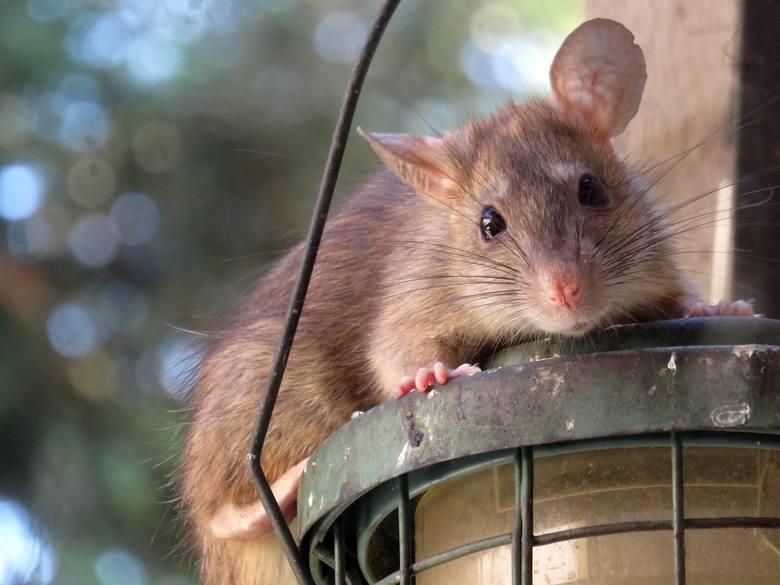 Osoby urodzone w roku Szczura w 2020 r. powinny zachować dużą ostrożność. Szczególną uwagę muszą zwrócić na kwestie zdrowotne oraz relacje z bliskimi.