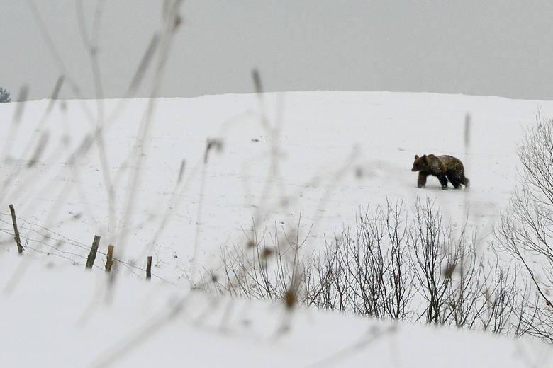 W Bieszczadach niedźwiedzie są już aktywne. Na tropy drapieżników można trafić podczas leśnych i górskich spacerów. Zwierzęta zarejestrowały też fotopułapki