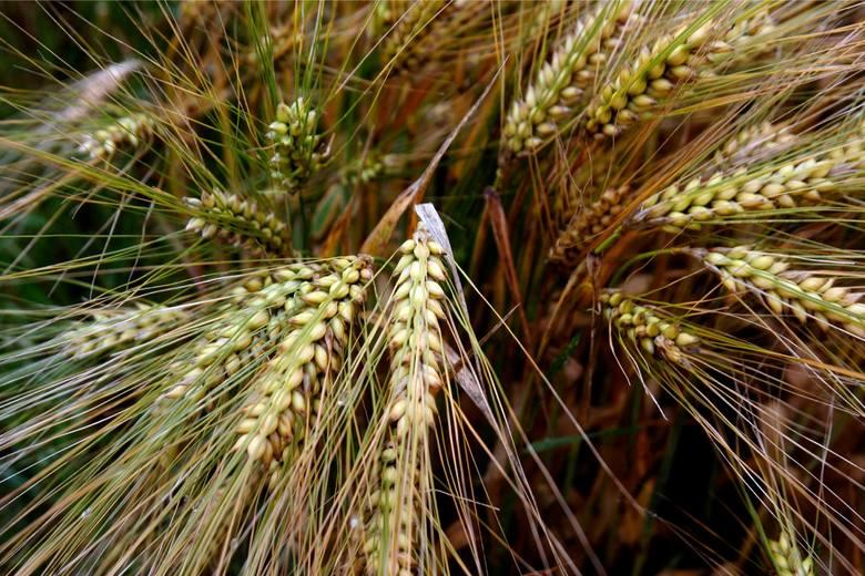 Ile rolnicy otrzymywali w styczniu za zboże, żywiec i mleko (dane GUS)