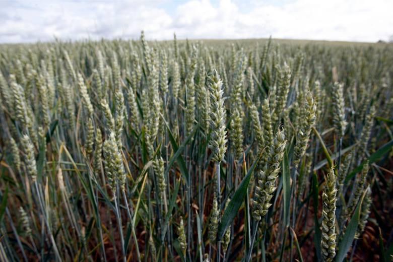 w porównaniu z grudniem minionego roku w styczniu wzrosły ceny skupu większości produktów rolnych. Wyjątek stanowiły: żywiec wieprzowy, drobiowy oraz