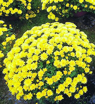 <br /> Amatorzy odmian  drobnokwiatowych chętnie kupują Paradiso.<br />