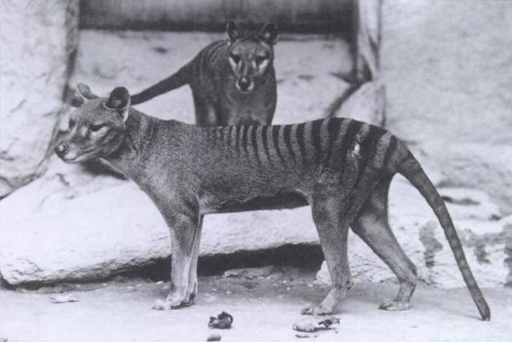Wilkowór tasmańskiTen wymarły gatunek ssaka z rodziny wilkoworowatych był największym drapieżnym torbaczem czasów współczesnych. Żył na terenach Australii