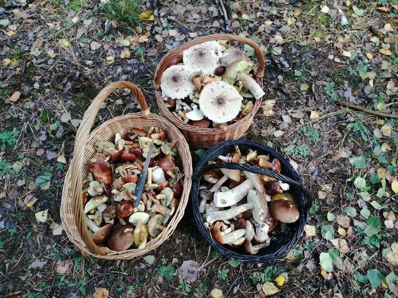 Jak długo będą grzyby w lasach? Nie brakuje jednak bardziej spektakularnych wyników. W niedzielę w lesie w powiecie sieradzkim czterem osobom udało się