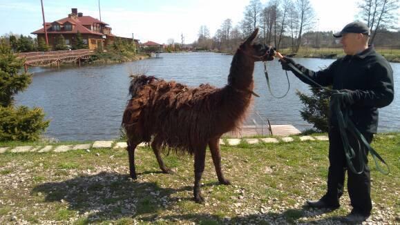 Zbiegła lama z Bierunia trafiła do Lublina, gdzie ma zapewnione świetne warunki życiowe