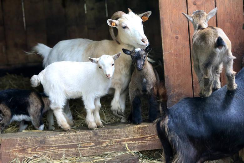 """""""Skradzione"""" kozy z okolic Dynowa odnalazły się w lesie"""