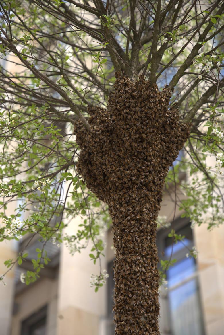 - Już drugi rok z rzędu pojawiają się na tym samym drzewie - mówił szef miejskiej pasieki na CSK, Marcin Studziński