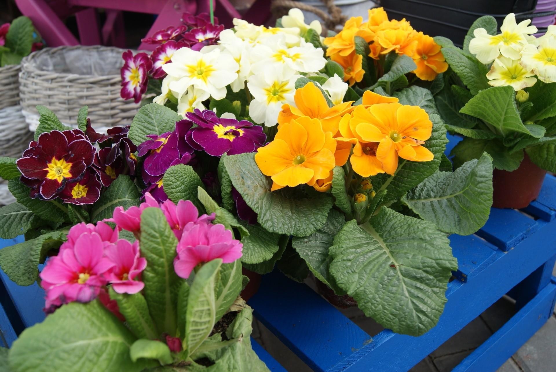 Jakie kwiaty sadzimy w marcu na balkonie i na działce
