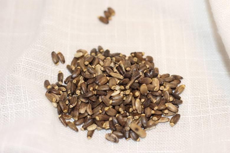 Owoce ostropestu plamistego zawierają sylimarynę i inne związki chroniące wątrobę przed uszkodzeniami i wspomagające procesy jej regneracji