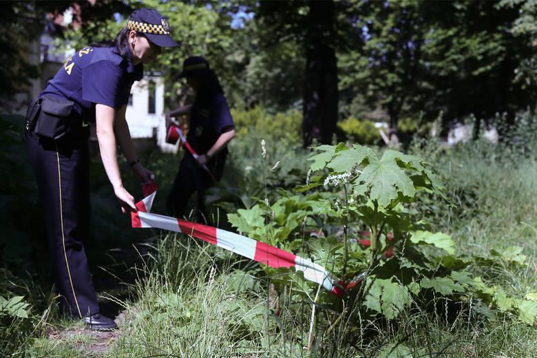 Barszcz Sosnowskiego to najniebezpieczniejsza roślina w Polsce. Wyjątkowo groźna jest w czasie upalnej i słonecznej pogody (słońce działa na toksyczność