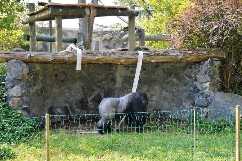 Goryle w opolskim zoo od niedawna mają plac zabaw na wybiegu.