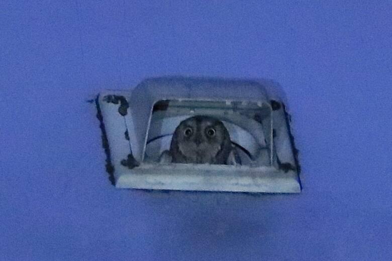 Syczek. Ta mała sowa przyleciała przez pomyłkę do Gliwic