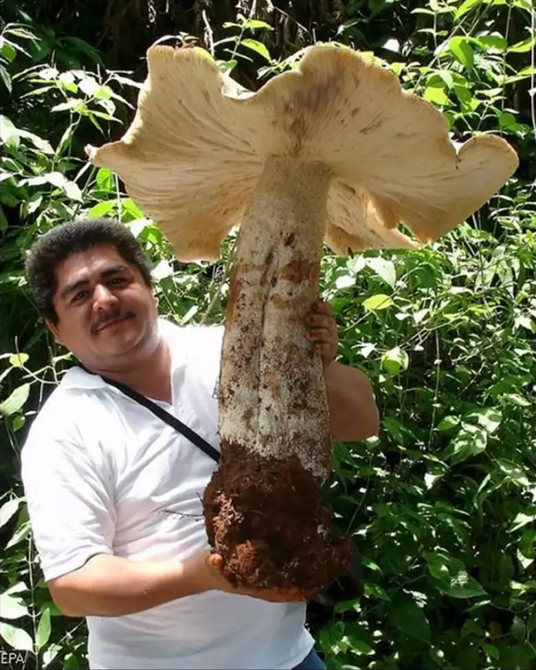 Największym jadalnym grzybem świata w 2007 roku okrzyknięto okaz znaleziony w meksykańskim lesie w Tapachula. Waga owocnika dobiła do 20 kilogramów.
