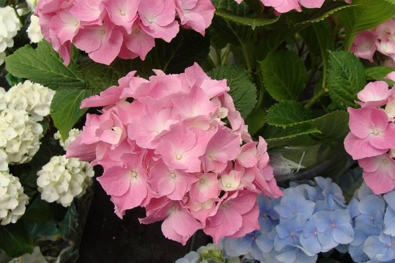 Hortensje ogrodowe najczęściej występują w kolorze niebieskim, różowym i białym. Dwa pierwsze zależą w dużym stopniu od składu i odczynu gleby.