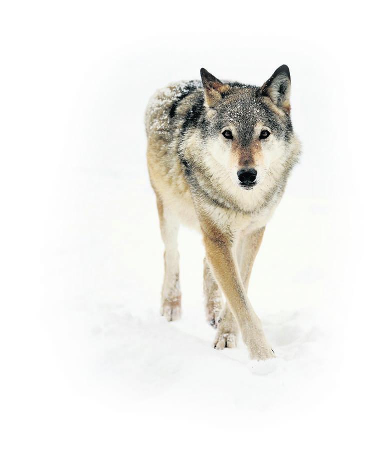Mało kto wie, że wilk to niedościgniony wzór rodzica, partnera i opiekuna
