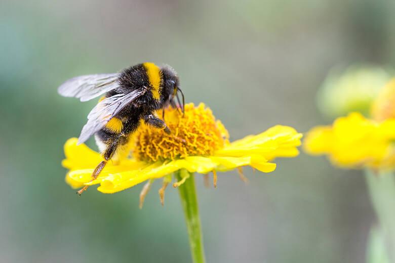 Owady takie jak jak: osy, pszczoły, trzmiele czy szerszenie zwykle nam nie zagrażają, ponieważ atakują przeważnie w samoobronie. Jednak, gdy dojdzie