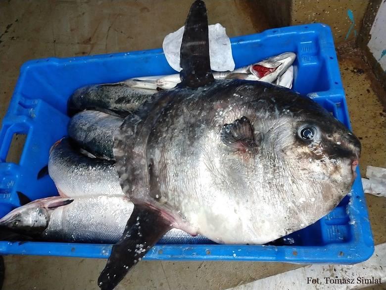 Kuter rybacki, w okolicy Krynicy Morskiej natrafił na subtropikalną rybę (Mola mola). Samogłów o wadze niespełna 12,5 kg i długości 57 cm zaplatał się