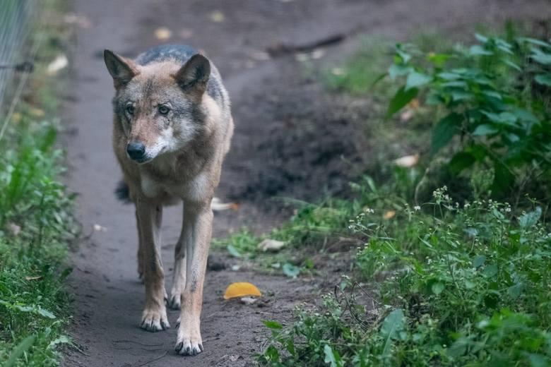 Wilki w Bieszczadach czują się bezkarne. Budzą duży strach wśród mieszkańców, podchodzą coraz bliżej domów