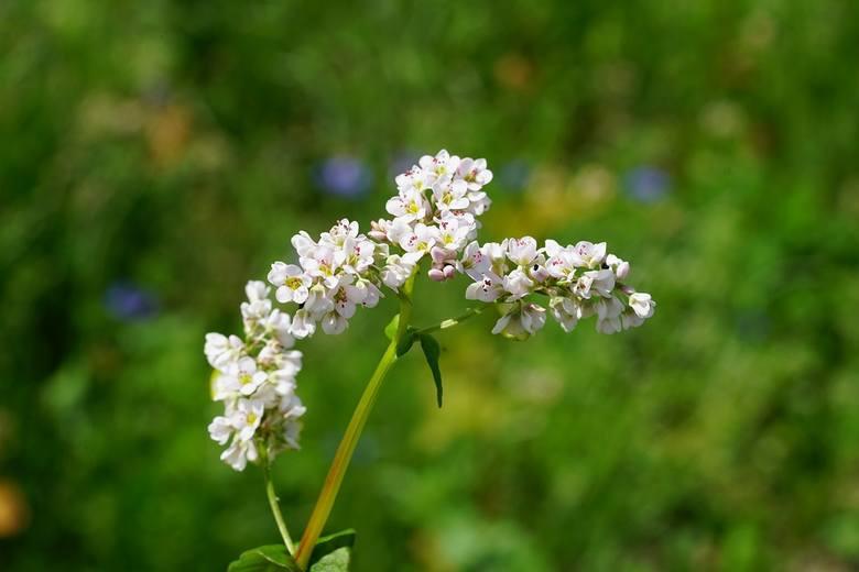Kwiat kwitnącej gryki - rośliny owadopylnej i miododajnej.