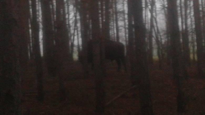Żubr widziany w poniedziałek 14 grudnia w lesie między Dobrojewem a Gościnowem.