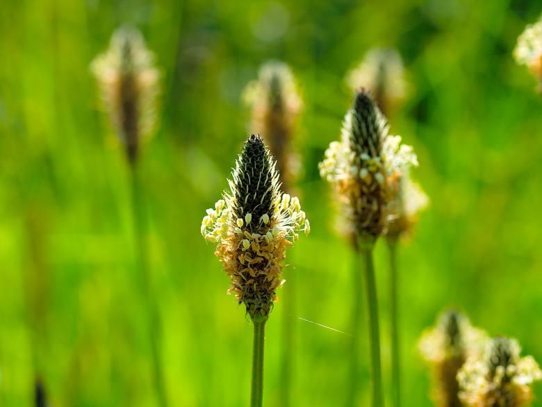 Bardzo łatwo ją znaleźć - rośnie praktycznie wszędzie: na łąkach, polach, przy lasach. Sok z liści babki lancetowatej działa bakteriobójczo, natomiast