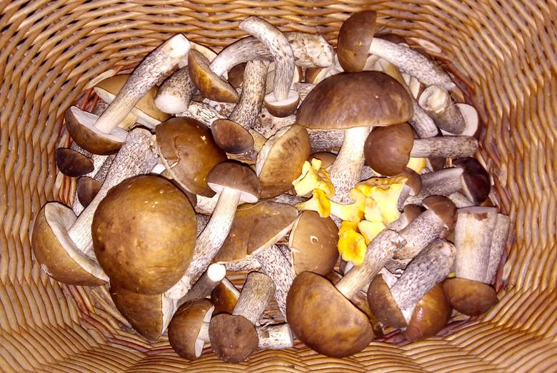 Grzyby pojawiły się w lasach pod Kosobudzem, gmina ŁagówW piątkowe popołudnie (20 września) nasz dziennikarz wybrał się na grzyby w osławione lasy pod
