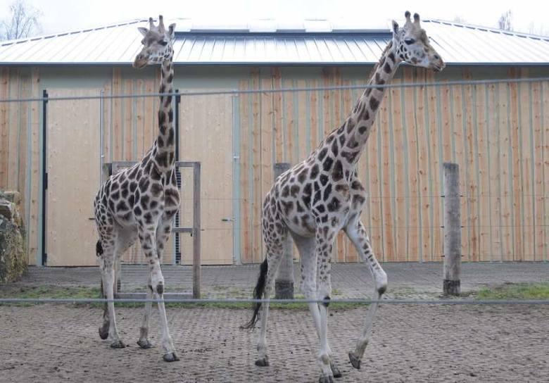 Żyrafy to jedna z atrakcji w opolskim zoo.