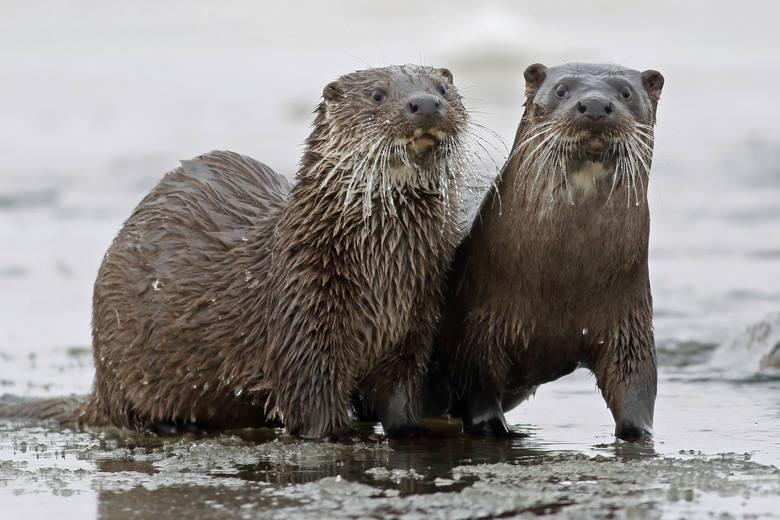 - W zimie wydry są aktywne niemal przez cały dzień. Dlatego to  najlepszy sezon na ich fotografowanie. Są bardzo czujne. Jeden niewłaściwy ruch lub zapach