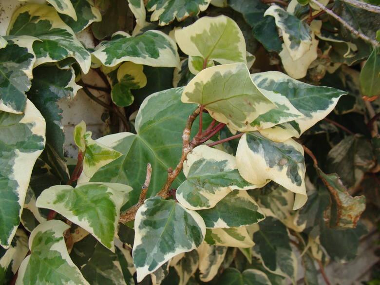 Liście bluszczu pospolitego (Hedera helix) przeważnie są pokryte jaśniejszym wzorem, jest on jednak dość subtelny. Są jednak odmiany bluszczu o liściach