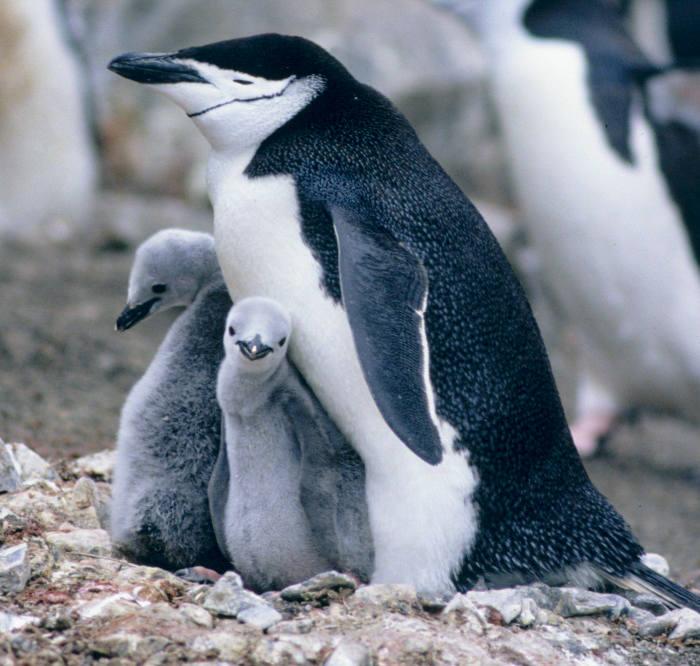 ROY i SILO, Central Park ZOOPara samców pingwinów z nowojorskiego zoo zasłynęła głównie dzięki swoim homoseksualnym zachowaniom. Dwa osobniki z gatunku