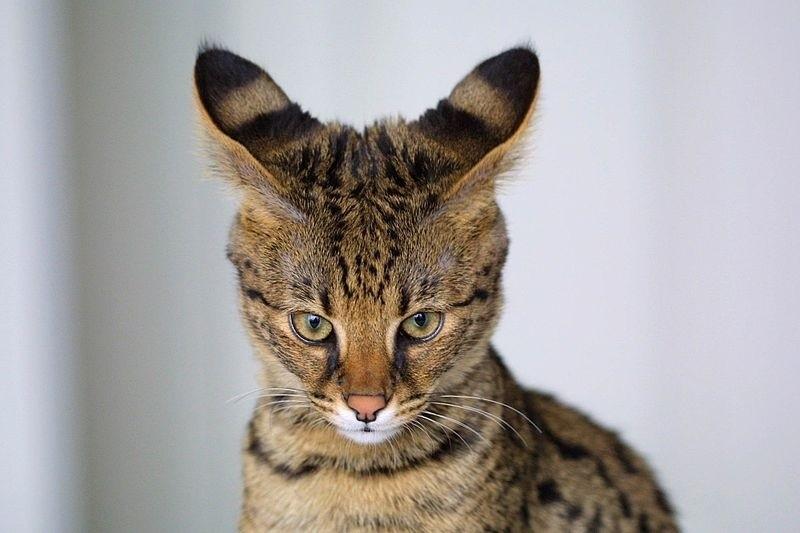 Kot Savannah Mieszanka Kota Domowego I Serwala Afrykańskiego