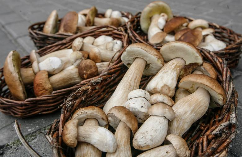 Dobra informacja dla miłośników grzybobrania. Na Dolnym Śląsku, po okresie kiepskich kilku tygodni, znów pojawiły się grzyby. Trudno mówić o wysypie,