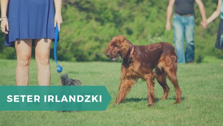 SETER IRLANDZKINajlepsze hasło reklamowe dla tej rasy to: pies do towarzystwa. Setery irlandzkie są wesołe, energiczne i pełne radości życia, co z pewnością