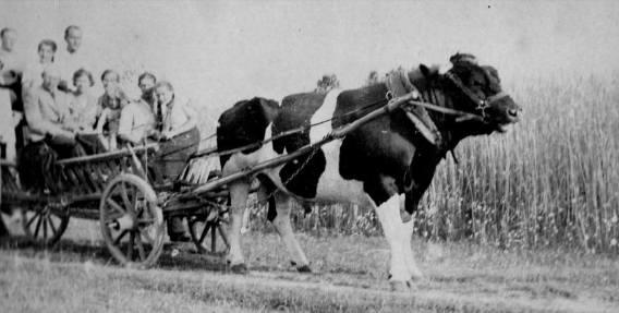 Henryk Brzozowski powozi bykiem