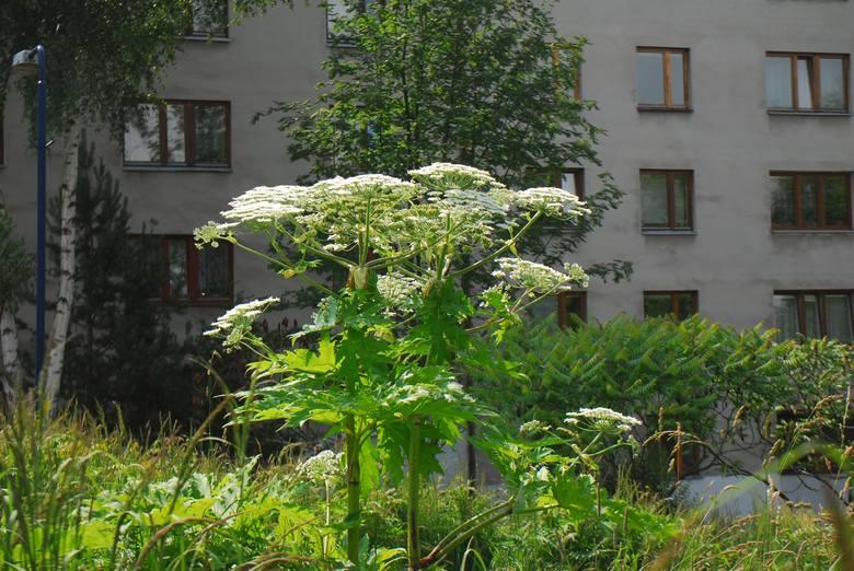 Barszcz Sosnowskiego to wybitnie niebezpieczna roślina. Absolutnie nie wolno jej dotykać, ani nawet zbliżać się do niej, bo roślina parzy również na